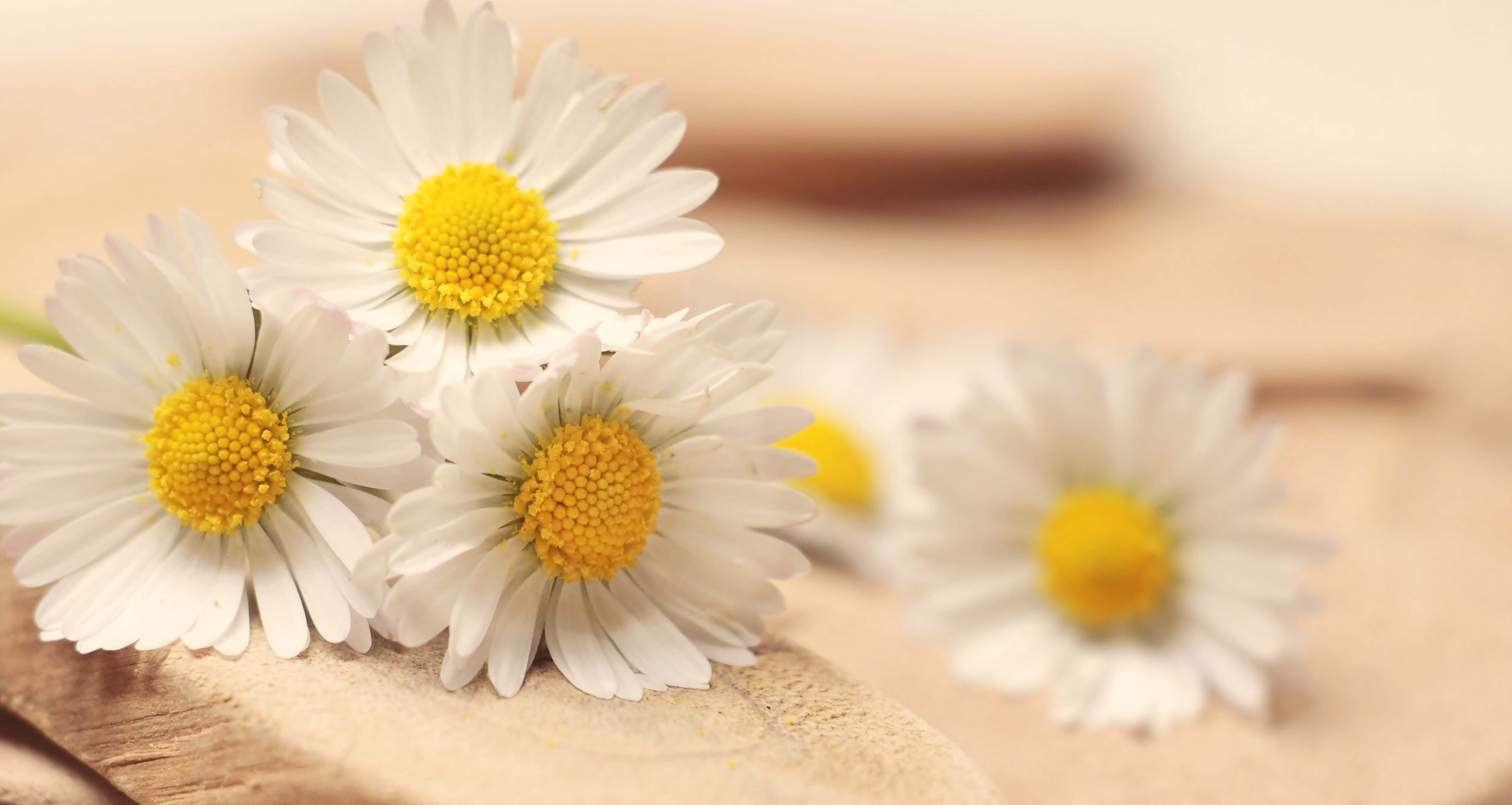 BMV Fragrances offers best quality Chamomile Essential Oil including Reconstitution Chamomile Oil that is frequently added to skin cosmetics to serve as an emollient, and has anti-inflammatory effects.