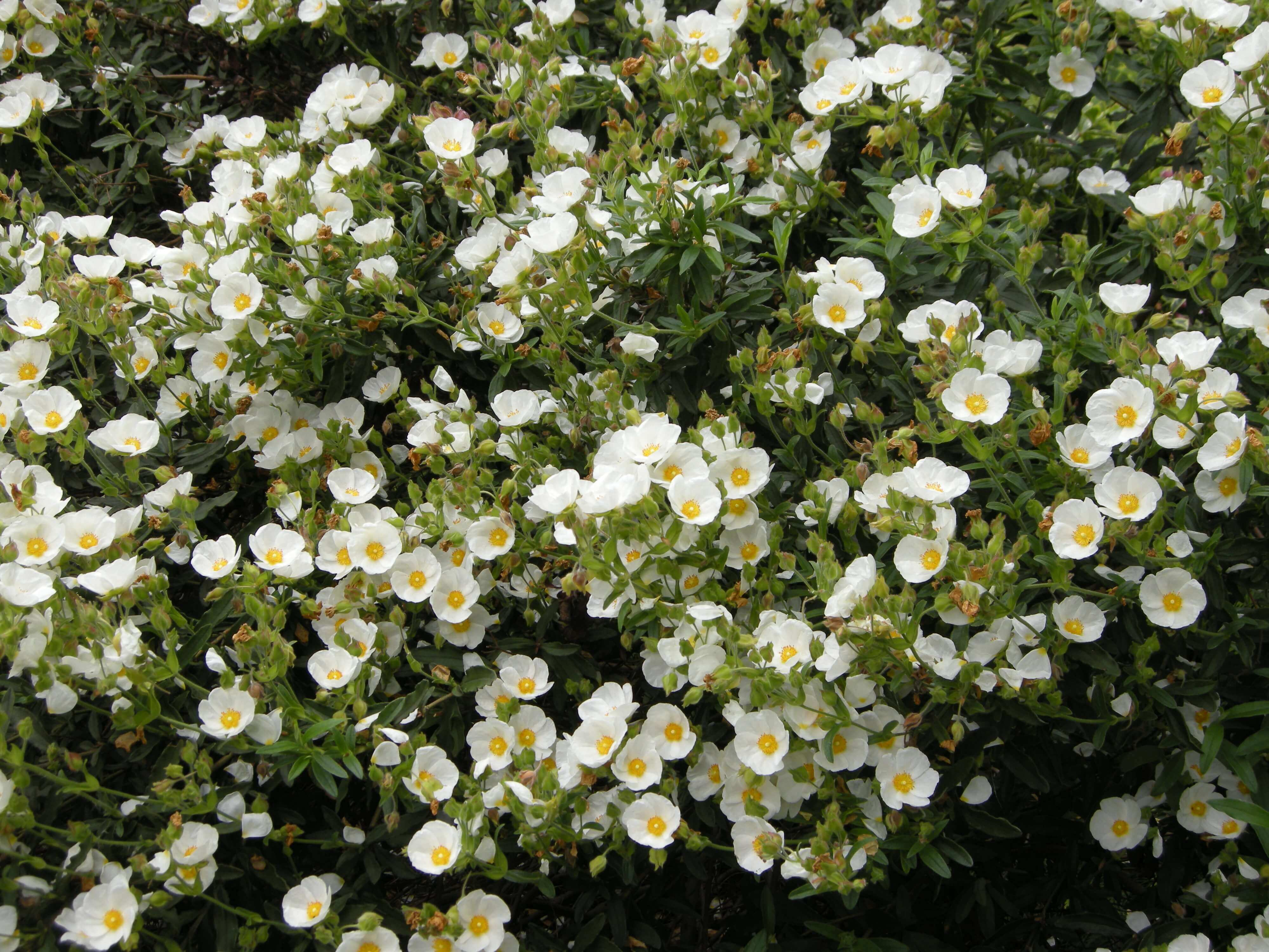 BMV Fragrnces offers Cistus essential oil including 100% Pure & Natural Cistus Super Absolute™, Cistus Concrete is spiritual oil and has been used for centuries for meditation.