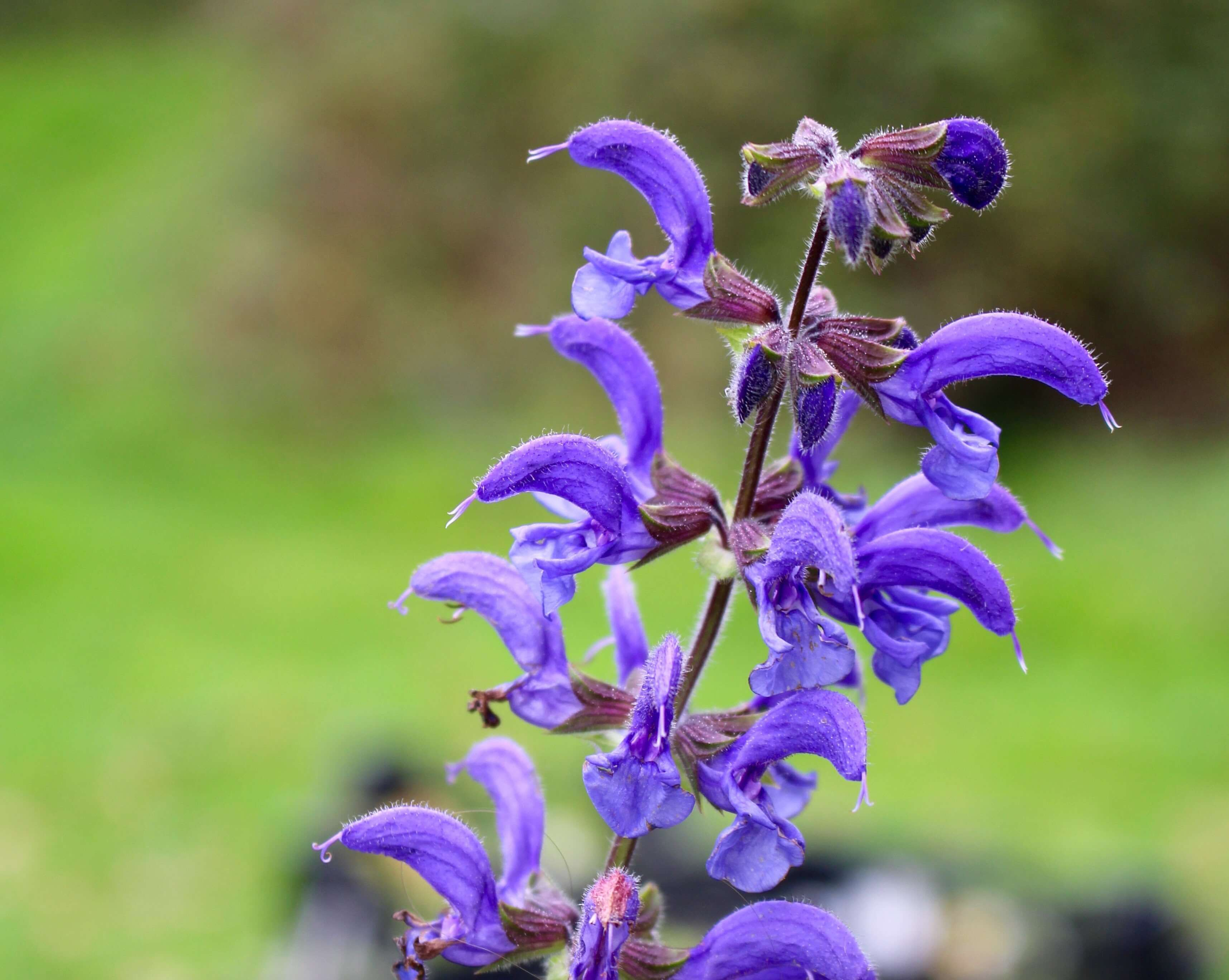 BMV Fragrances offers Clary Sage essential oil including 100% Pure & Natural Clary Sage Oil (Salvia Sclarea Oil) is used widely in perfumes and as a muscatel flavoring for vermouths wines and liqueurs.