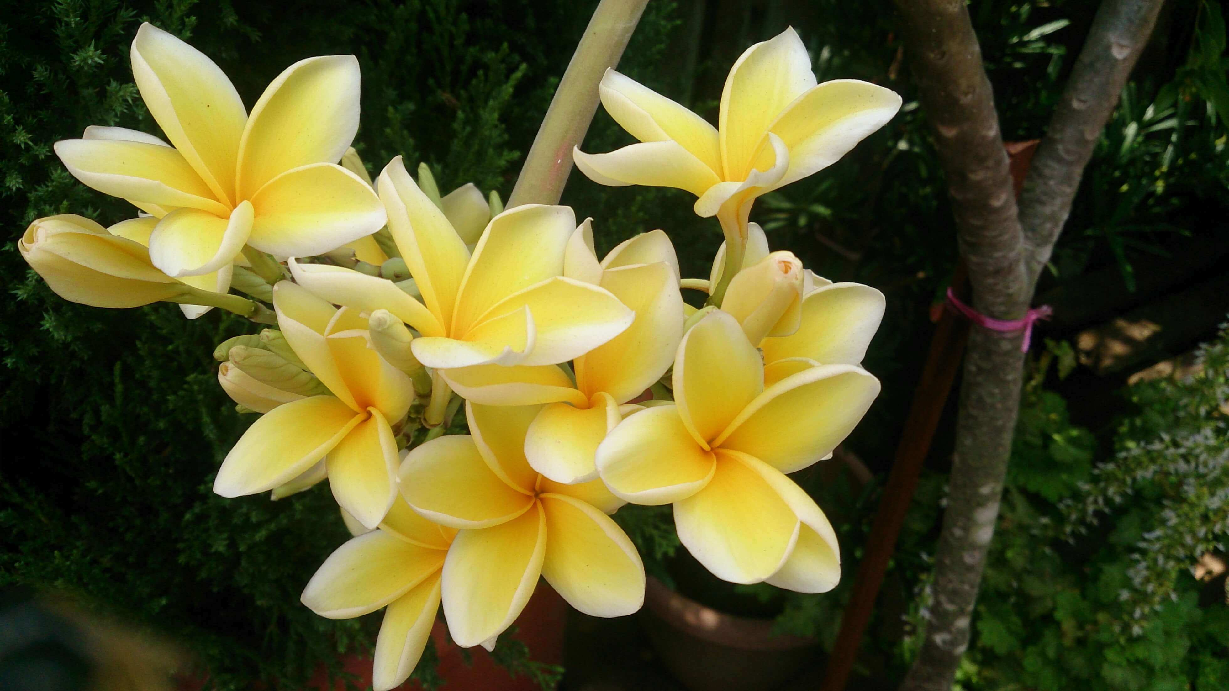 Best quality natural essential oils including Frangipani Oil - Plumeria Alba Essential Oil, Reconstitution of Frangipani and other fragrance & perfume oils at the most discount rates by BMV Fragrances from UP, India.