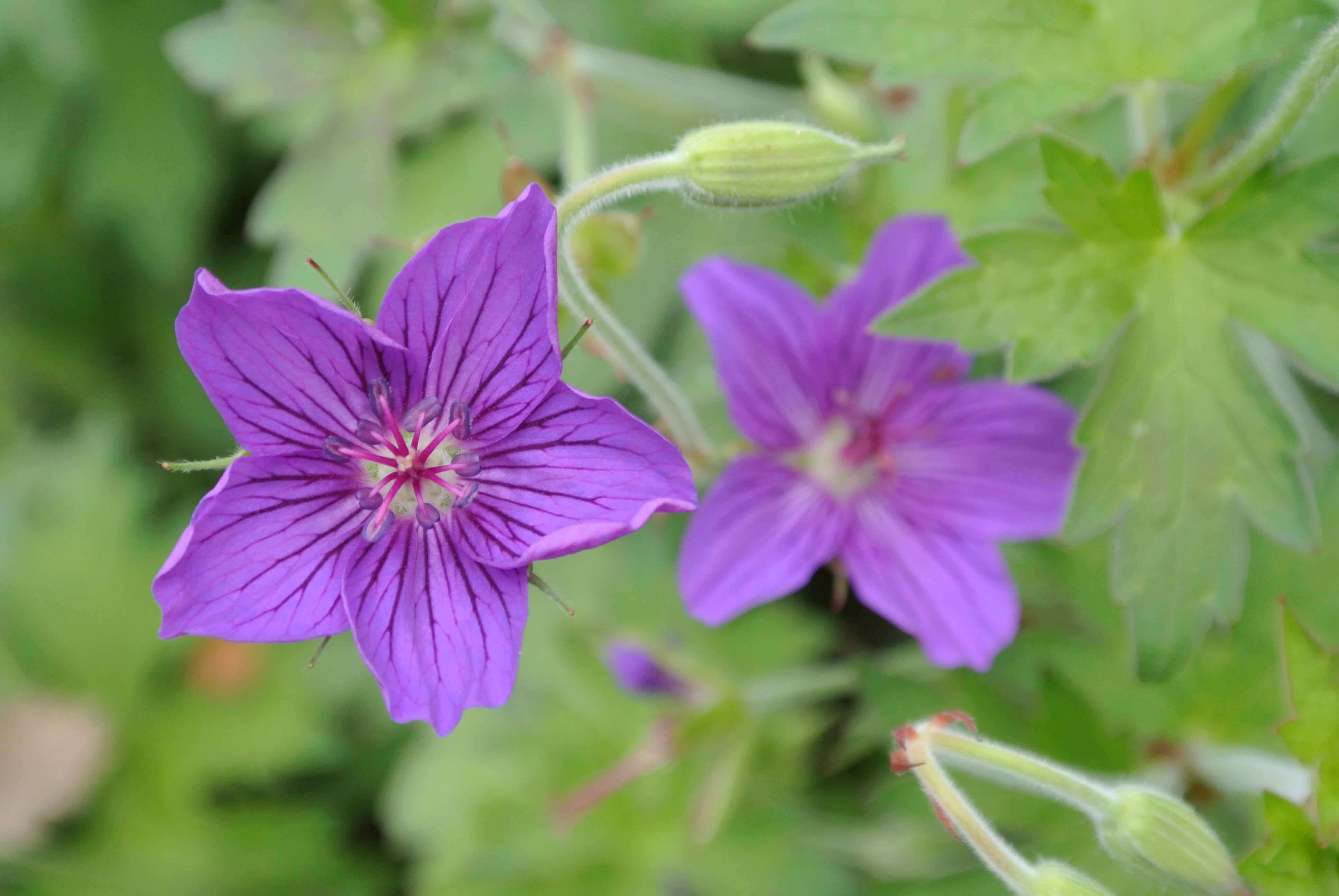 Best quality natural essential oils including Geranium - Cranesbills, Geranium Oil, Base Geranium AA and other fragrance & perfume oils at the most discount rates by BMV Fragrances in UP, India.