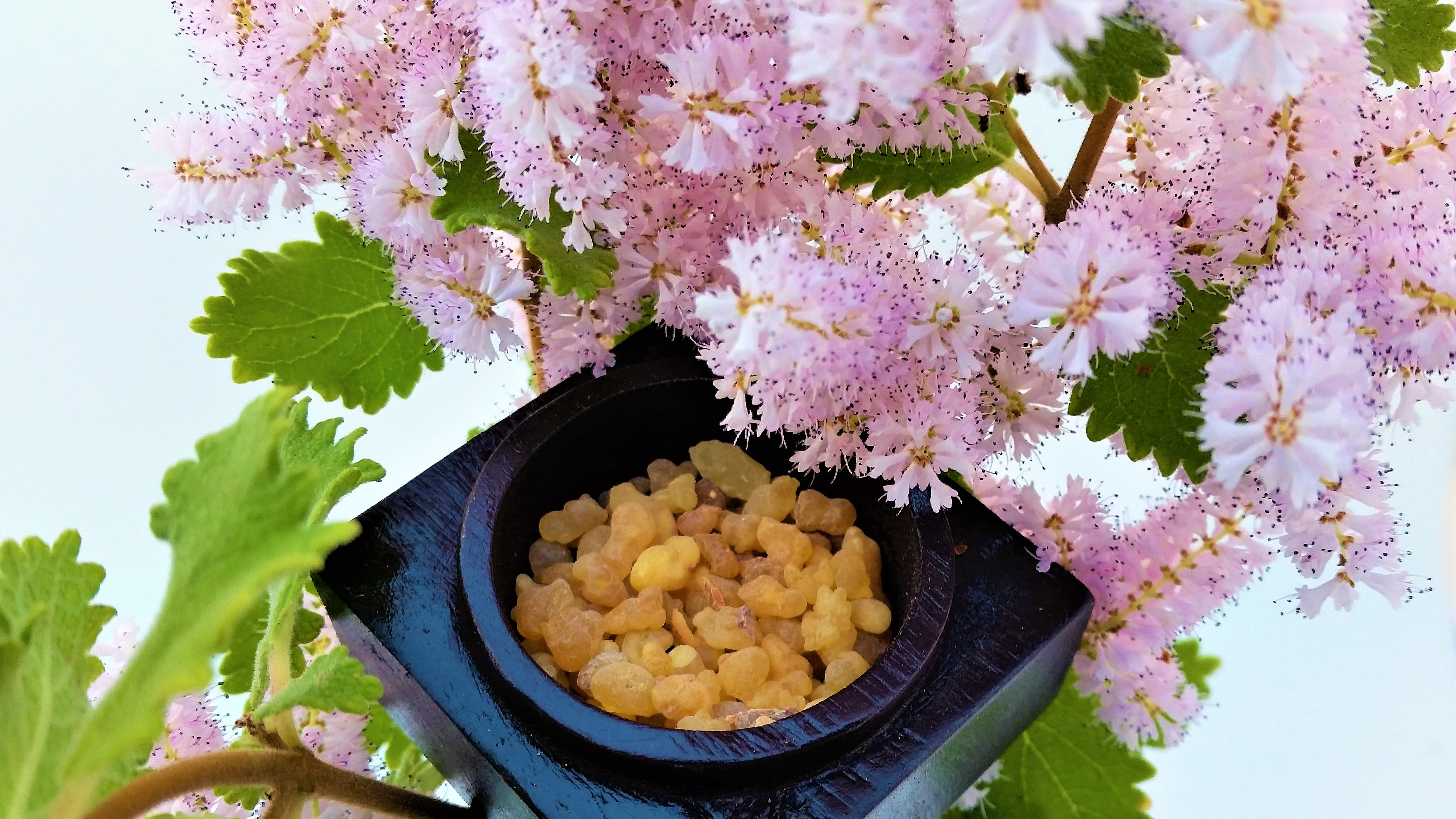Best quality Olibanum oil including Frankincense Serrata, Boswellia Serrata, Indian Frankincense Oil, 100% Pure & Natural Olibanum Absolute, Frankincense which is highly terpenic and is used to help Rose Accords to achieve natural top note.