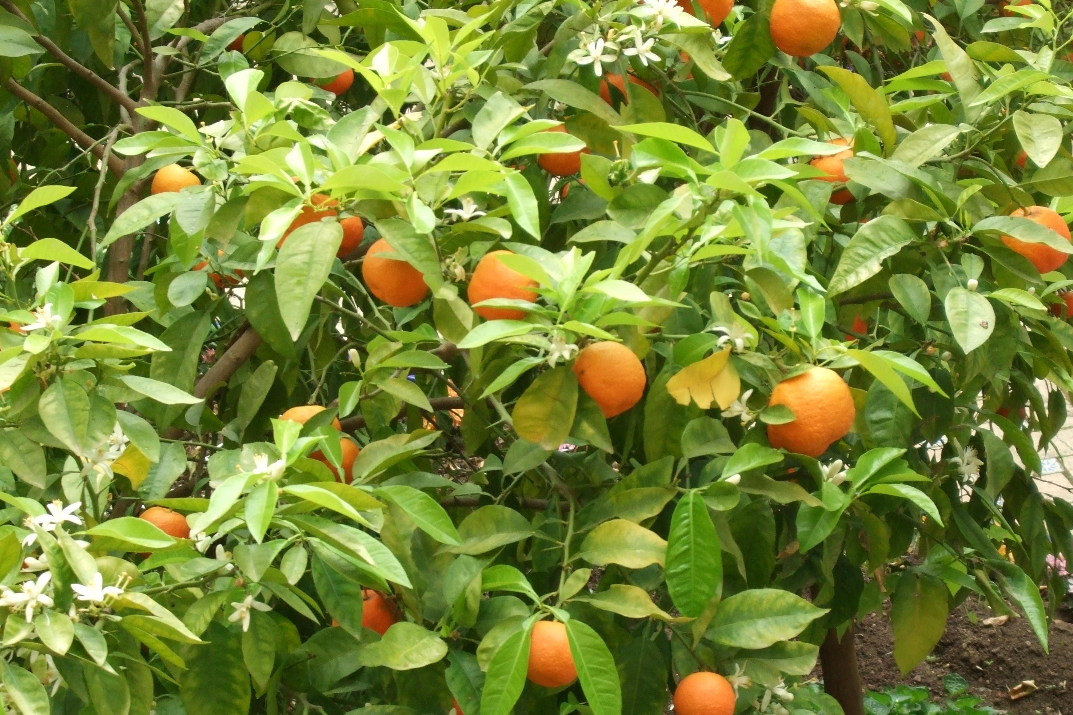 BMV Fragrances offers superior quality Petitgrain Oil including Base Petitgrain AA that have a greenish woody orange smell that is made use to produce perfumery.