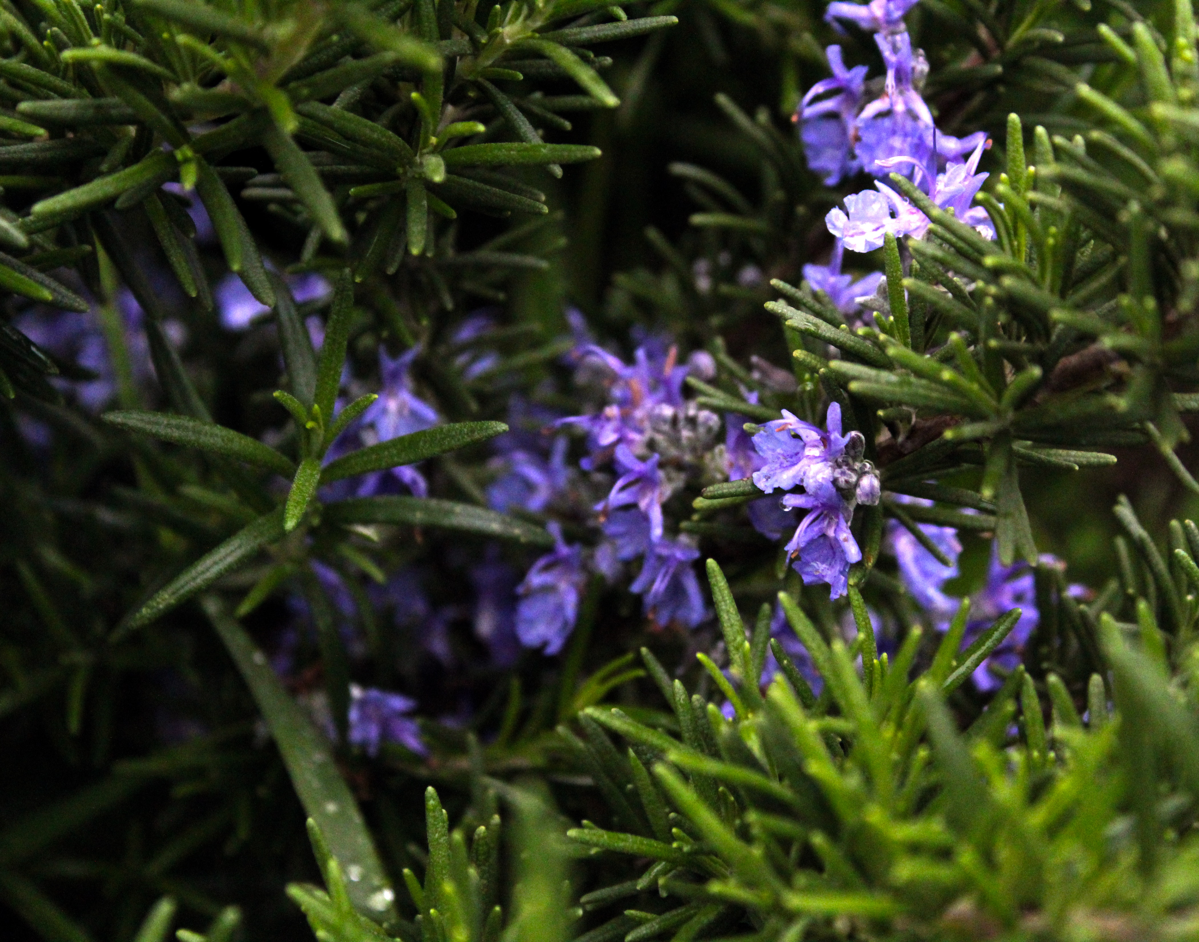 Best quality natural essential oils including Rosemary Oil - Reconstitution Rosemary NNO, Rosemary Spanish and other fragrance & perfume oils at the most discount rates by BMV Fragrances in UP, India.