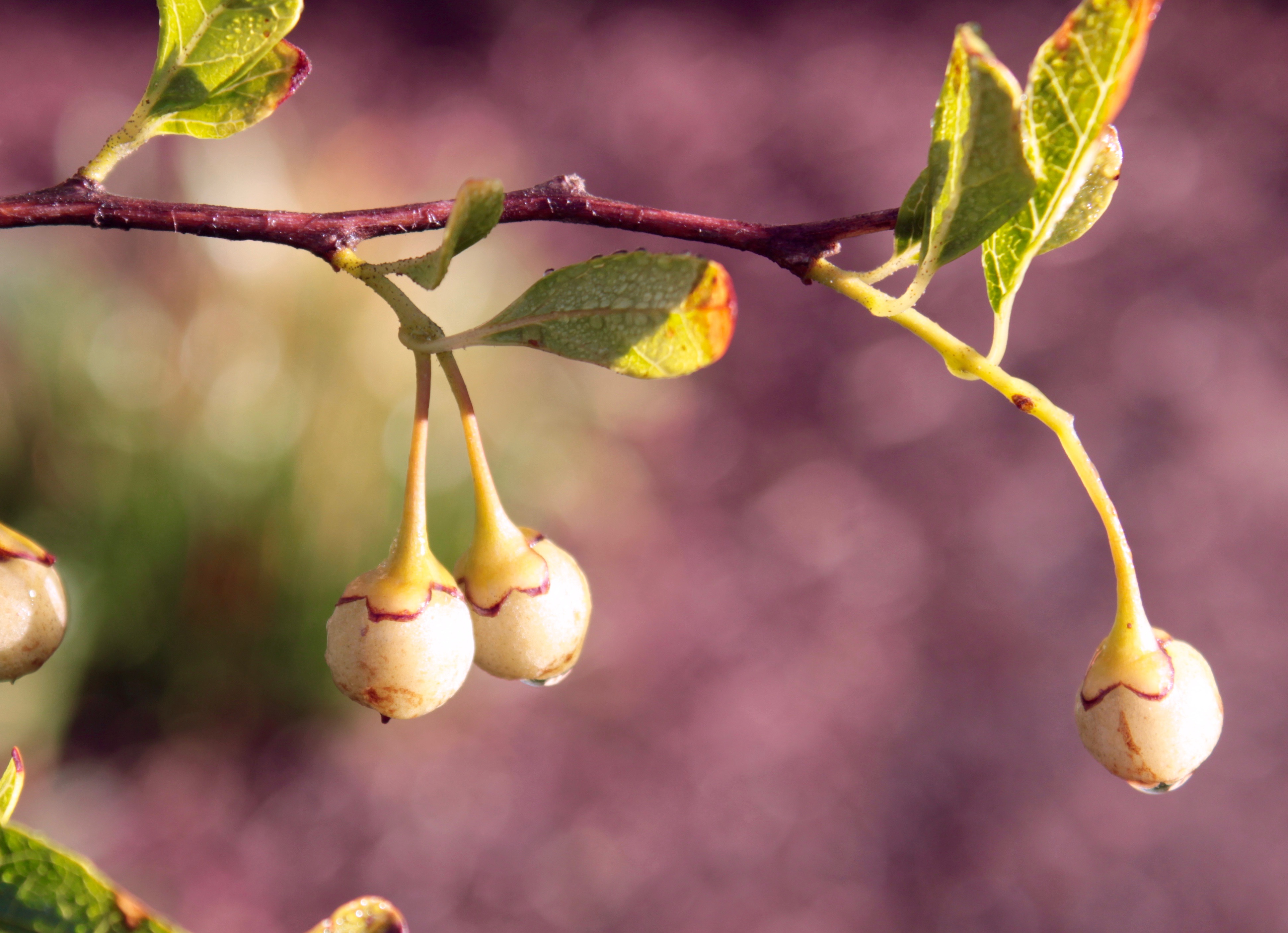 Best quality natural essential oils including Styrax - Styrax Resin for Perfumes, Incense, and Medicines, 100% Pure & Natural Styrax Absolute that can be used as Styrax incense & as an air freshener that can drive away snakes.