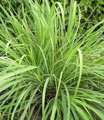 Lemongrass Oil is a yellow or amber-colored, somewhat viscous liquid with a very strong, fresh grassy lemon-type, herbaceous or tea-like odor.