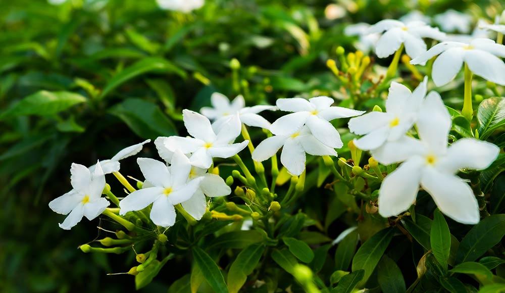 Jasmine Perfumery Base Oil