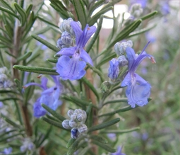 100% Pure & Natural Rosemary Oil used as a decorative plant in gardens and has many culinary and medical uses.