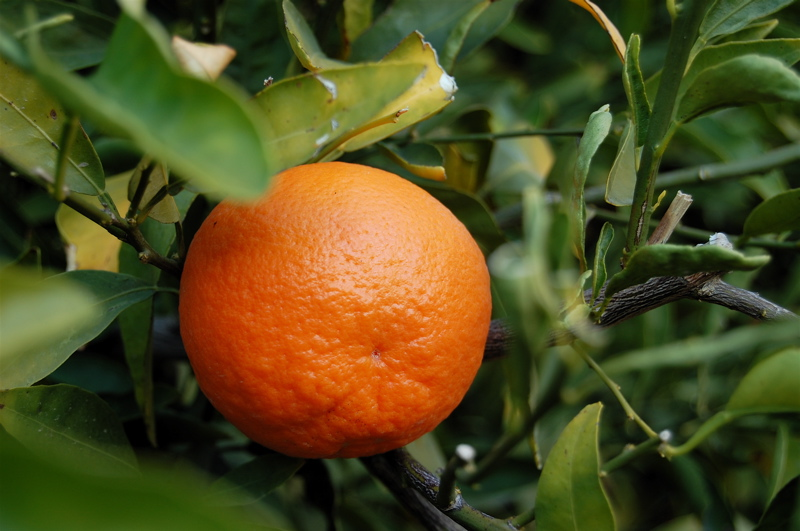 Tangerine Oil is machine pressed from the ped of the ripe fruit in the canning factories. The oil is orange colored, mobile and with a fresh, sweet odor, reminiscent of bitter orange and of Valencia orange oil, rather than of mandarin oil.