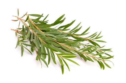 BMV Fragrances offers Tea Tree Oil including Pure and Natural Melaleuca Oils, M. Leucadendra Oil, Bettafix (cajeput tree oil), resins, resinoids, absolutes, reconstitutions, and perfumery base at best prices.